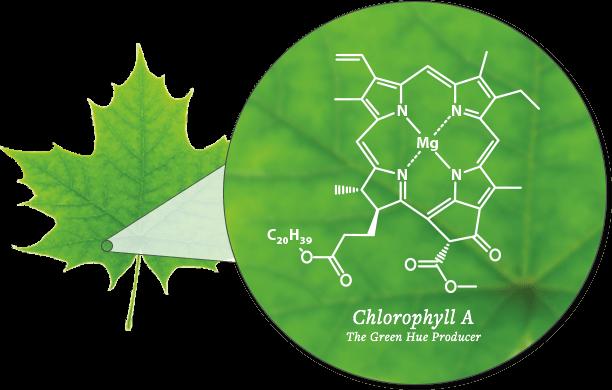 Diagram of Chlorophyll - SmokyMountains.com