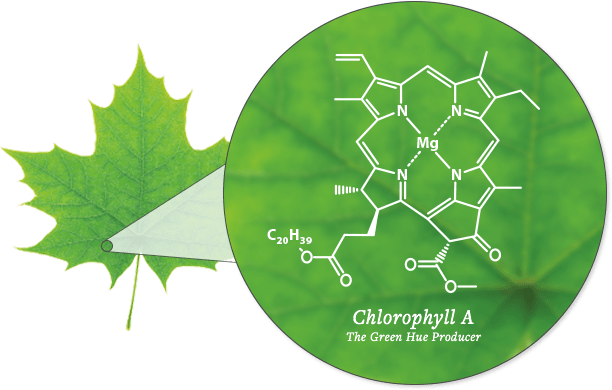 Diagram of Chlorophyll - SmokyMountains.com