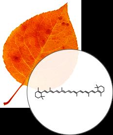 Leaf color pigments diagram, Beta-Carotene - SmokyMountains.com