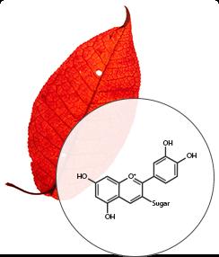Leaf color pigments diagram, Anthocyanins - SmokyMountains.com