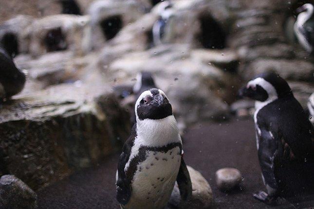 Penguins at Ripley's Aquarium Gatlinburg