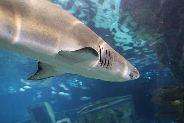 shark-closeup