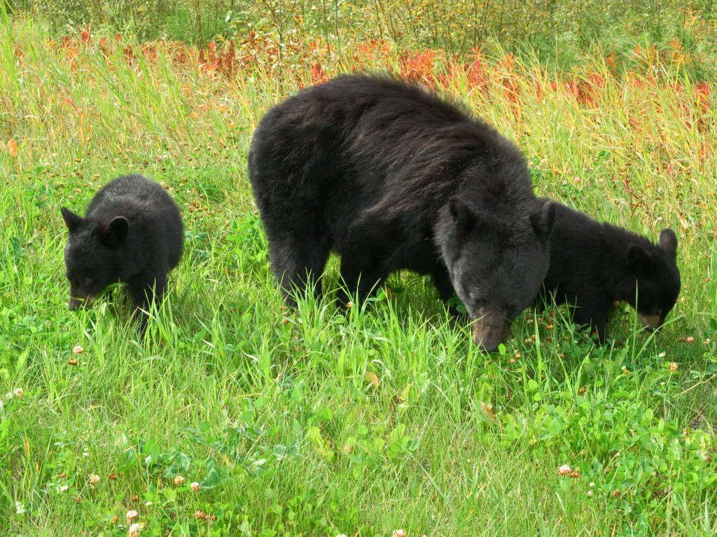 Three Black Bears