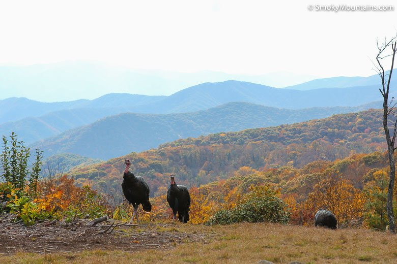 Thanksgiving Turkeys in the Smoky Mountains