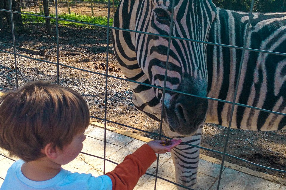 Kid feeding zebra
