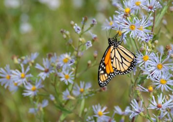 Experience the Incredible Journey of Fall-Migrating Monarch Butterflies Around Asheville