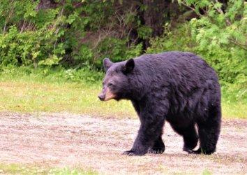 Symbol of the Smokies: The Black Bear